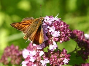 Butterfly feeds on pink flower