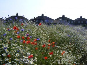 Corn chamomile, corn flowers and field poppies at Haig. Copyright Chris Gomersall.