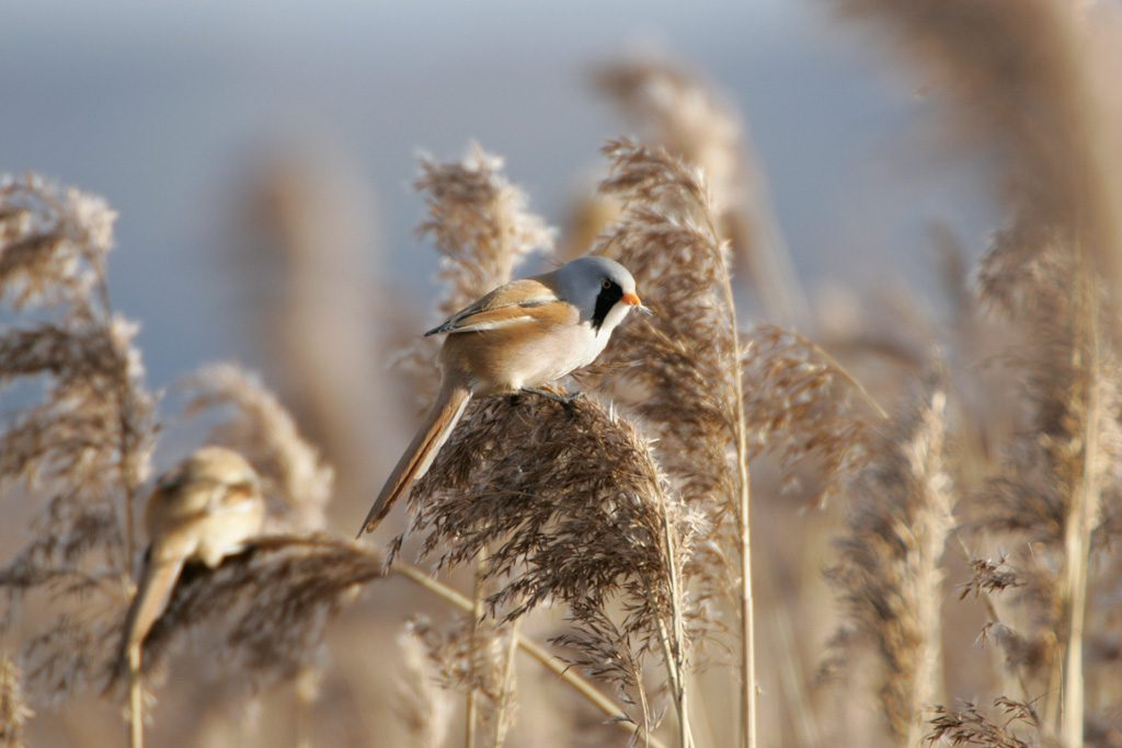Bearded tit by Andy Hay (rspb-images)